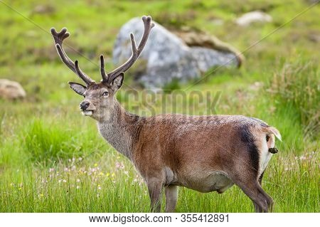 Red Deer Stag.  A Red Deer Stag Goes To The Toilet In The Scottish Highlands.