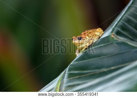 The African Common Toad Or Guttural Toad (amietophrynus Gutturalis) Sitting On The Banan Leaf.