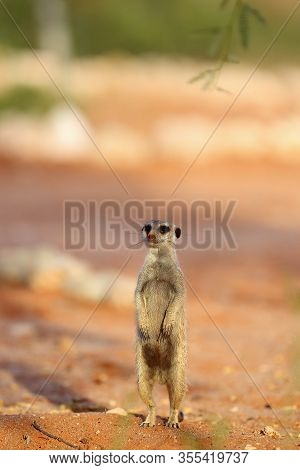 The Meerkat Or Suricate (suricata Suricatta) Patrolling Near The Hole. Adult Animal Standing In The