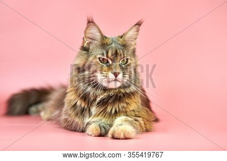 Maine Coon Cat, Tortoiseshell Coat Color. Adult Female Maine Coon Purebred Cat On Pink Background. T