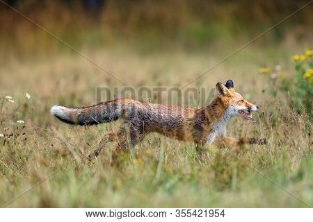 The Red Fox (vulpes Vulpes) Looks For Food In A Meadow. Young Red Fox On Green Field With Dark Spruc