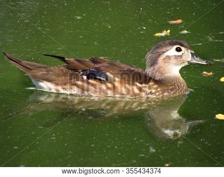 Carolina Duck, Colorful Female Of Wood Duck, Named Also Carolina Duck, Zoological Name Aix Sponsa, S