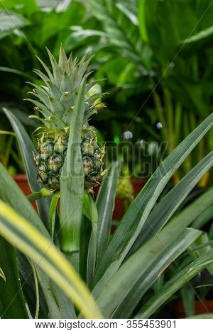 The Green Pineapple Fruit Is Hiding In The Foliage. Natural Ananas Comosus Pineapple Fruit In A Trop