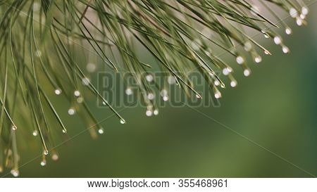 Pine Branch With Green Needles In Raindrops Closeup. Water Drops On The Needle Ends.