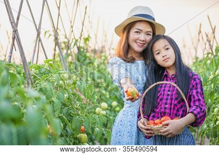 Happy Farmers With The Produce From The Tomato Garden. Tomatoes Ripening In A Greenhouse. Ripe And U