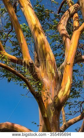 Patterns Of Branches Of The Colorful Bark Of Rainbow Eucalytpus Trees Against Background Of Blue Sky