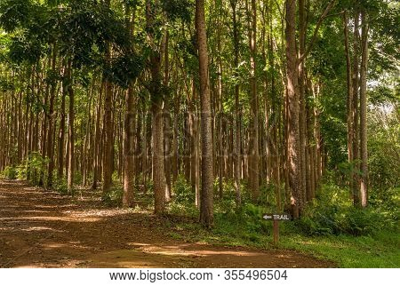 Pathway Of The Wai Koa Loop Trail Or Track Leads Through Plantation Of Mahogany Trees In Kauai, Hawa