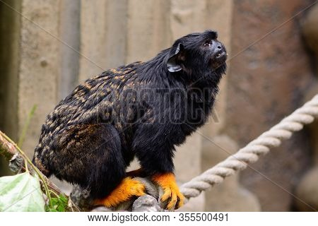 Portrait Of A Red Handed Tamarin (saguinus Midas) Sitting On A Rope In A Zoo