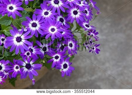 Potted Blue Pericallis Hybrida Or Cineraria, Florists Cineraria Or Common Ragwort Flowering Plant Fr
