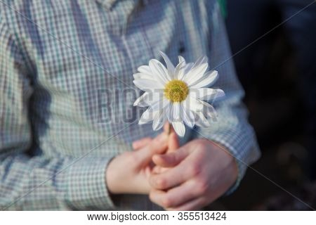 Guessing On A Camomile .he Loves Me, He Loves Me Not . Daisy Flower In A Child Hand . Close Up Woman