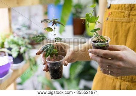 Woman Gardener Holding Passiflora Sprout In A Small Clear Plastic Cup For Plant Germination, Potted