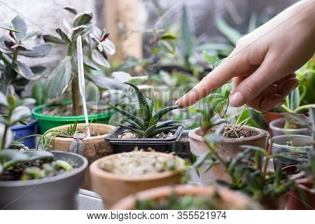 Woman Gardener Touches And Shows Index Finger On Leaves Of Small Haworthia In Pot, Potted Succulent