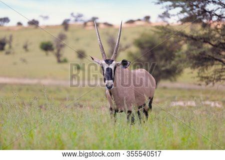 Common Antelope Gemsbok, Oryx Gazella In Kalahari After Rain Season With Green Grass. Kgalagadi Tran
