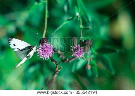 Butterfly With Long Proboscis On Purple Flower