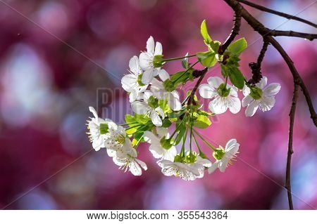 Tiny White Apple Flowers On A Sunny Day. Beautiful Nature Scenery On A Pink Blossom Background In Sp