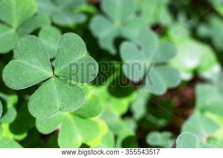 Background Green Shamrock Nature Background, Fresh Green Juicy Color, Shamrock Plant