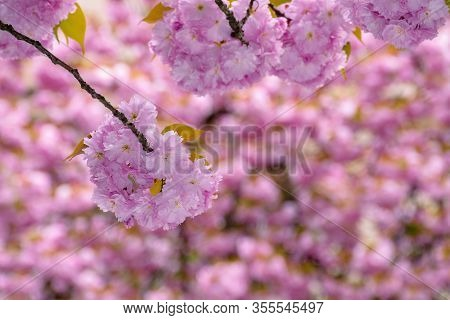 Blossoming Sakura Tree Background. Wonderful Pink Flowers On The Branches In Spring