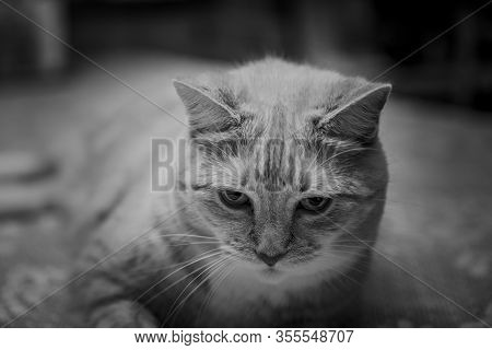Portrait Of A Tabby Cat Sitting On A Dining Table, In Black And White.