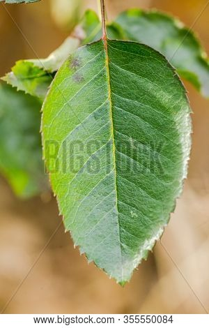 Bright-green Leaf Absorbing Sunlight. Close-up Details Of Green Leaf In Daylight.