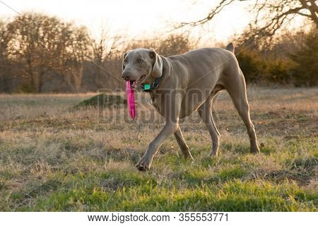 Weimaraner dog carrying a pink frisbee on a winter evening at sunset