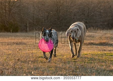 Black and white spotted dog carrying a pink frisbee, with a Weimaraner following close by; on a meadow in late evening sun