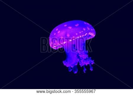 Phyllorhiza Punctata Is A Species Of Jellyfish, Also Known As The Floating Bell, Australian Spotted