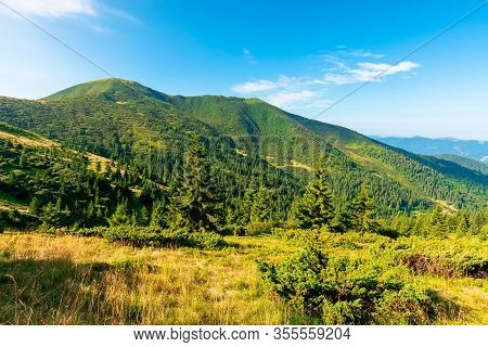 Mountain Scenery In The Morning. Coniferous Trees On Forested Hillside With Grassy Slopes. Beautiful