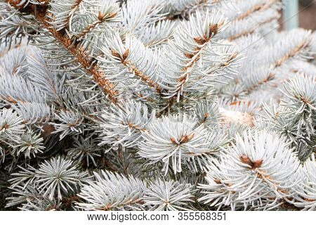 Christmas Tree Branch Texture. Close Up Photo Of Blue Spruce Tree Branches. Blue Spruce Tree Backgro