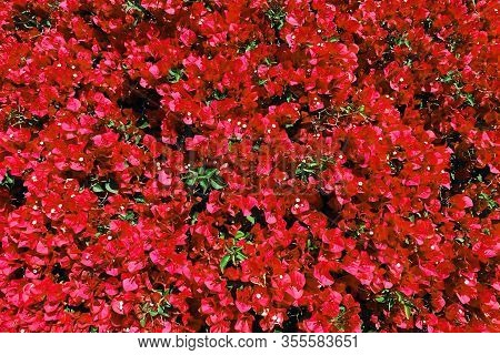 Bright Red Bougainvillea Hedge Distance View