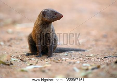 The Common Dwarf Mongoose (helogale Parvula), Sometimes Just Called The Dwarf Mongoose Sitting On Th