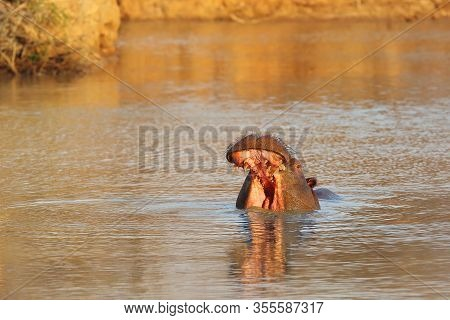 The Common Hippopotamus (hippopotamus Amphibius), Or Hippo Opens His Mouth When Warning His Opponent