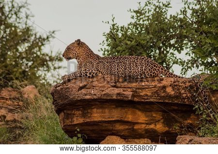 A Leopard Bathing On A Rock In Samburu Park In Central Kenya
