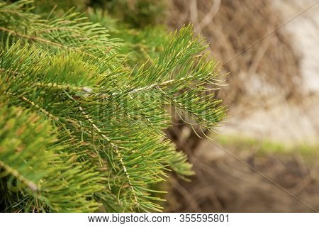 Spruce Branch With Green Needles. Pine Coniferous Branch . Beautiful Spruce Branch With Pine Needles
