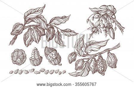 Cocoa Hand Drawn Set. Vector Vintage Illustration. Botanical Sketch Of Bean, Fruit, Leaf, Grain. Col