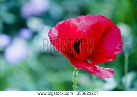 Poppy. Red Poppy Flower. Spring Is Coming. Summer Nature Beauty. Bright Red Poppy Flower. Anzac Day.