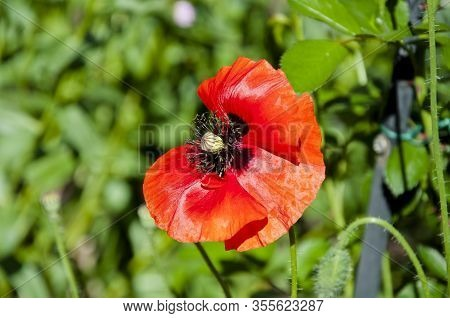 Ecology. Anzac Day. Poppy Seeds To Relieve Pain. Summer Nature Beauty. Poppy. Symbol Of Internationa