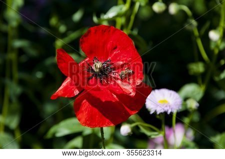 Medicinal. Summer Nature Beauty. Spring Is Coming. Bright Red Poppy Flower. Poppy. Symbol Of Interna