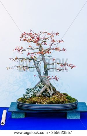 Japanese Maple, Acer Palmatum, Bonsai Tree, Originally From Japan, China And Korea. It Owes Botanica