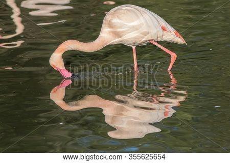 Love Yourself. Animal Reflection. Beautiful Vane Pink Flamingo Narcissist Behaviour. Self-love And V