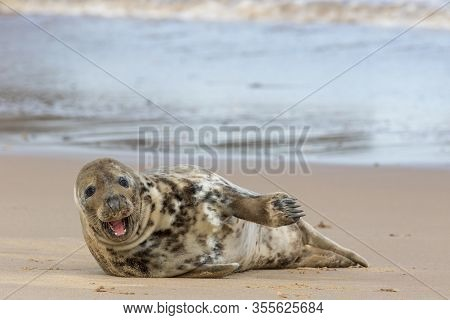 Happy Healthy Seal. Funny Animal Meme Image Of A Beautiful Friendly Single Solitary Gray Seal With M