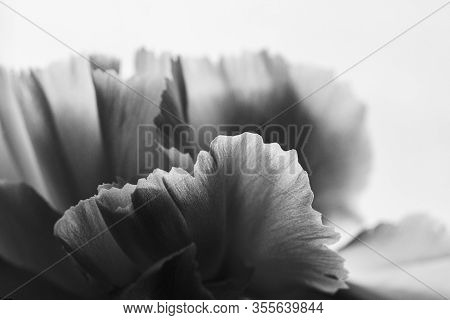 Black And White Image Of Details And Textures Of White Flower Petals, White Carnation, Dianthus Cary