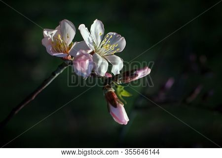 Apple Tree Blossom And Buds On Soft Out-of-focus Natural Green Background. Close Up Of White Spring
