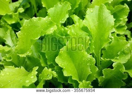 Fresh Green Leaves Lettuce Salad Plant With Water Drops. Spring Plants Close-up