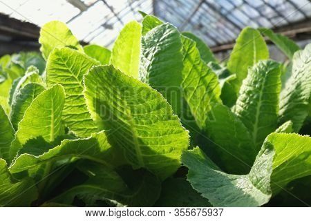 Young Green Leaves Of Primrose (primula) In The Sunlight. Spring Plants In The Greenhouse Close-up