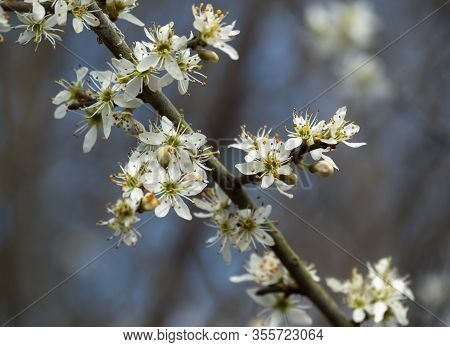 Closeup Of White Blackthorn Blossom, Prunus Spinosa, On A Tree Branch In Early Spring