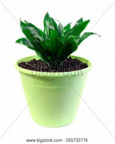 Aspidistra Isolated. A Plant In Green Pot Isolated On A White Background. Home Plan