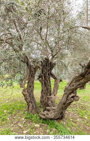 Old Perennial Olive Trees Grow In The Gey Ben Hinnom Park - Called In The Holy Books As The Blazing
