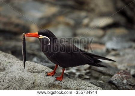 The Inca Tern (larosterna Inca) Sitting On The Black Rock On The Shore With Sea Fish In The Red Bill
