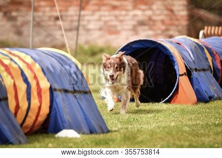 Brown Tricolor Border Collie In Agility Tunel On Ratenice Competition. Amazing Day On Czech Agility