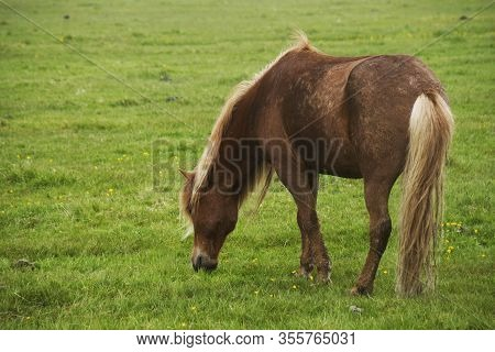 Image Of Beautiful Horse Eating Grass Oniceland.